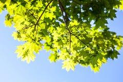绿色槭树叶子在阳光下 图库摄影
