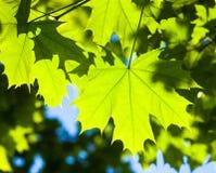 绿色槭树叶子在阳光下 免版税图库摄影