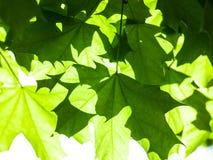 绿色槭树叶子在阳光下 库存图片