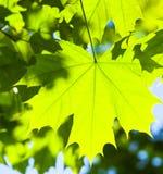 绿色槭树叶子在阳光下 免版税库存图片