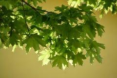 年轻绿色槭树叶子点燃了与在一黄色backgr的太阳 库存图片