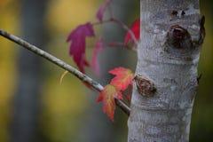 黄色槭树叶子转动红色在秋天 免版税库存图片