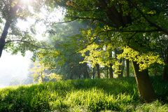 绿色槭树在庭院里早晨 库存图片