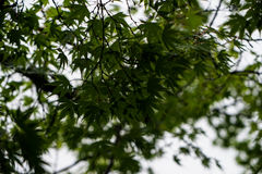 绿色槭树在有风和雨天留下叶子分支与 免版税库存图片