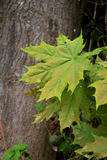 绿色槭树在树干背景把特写镜头留在 免版税库存图片