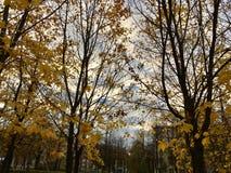 黄色槭树在秋天天空的背景离开 免版税图库摄影