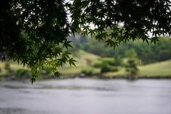 绿色槭树在雨天留下叶子分支前景与 免版税库存图片