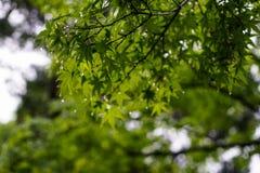 绿色槭树在雨天留给叶子分支雨珠, 库存图片