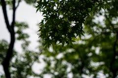 绿色槭树在雨天留给叶子雨珠,水dri 免版税库存图片