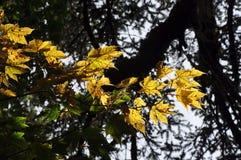 黄色槭树在黑暗的森林里 免版税库存图片