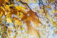 黄色槭树在晴朗的日落光离开 秋天背景美好的例证向量 小阳春 图库摄影