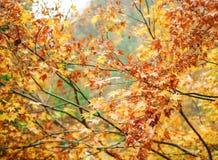 黄色槭树在kurobe峡谷的秋天 库存图片