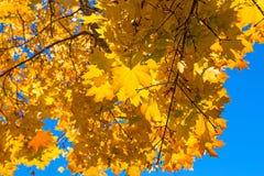 黄色槭树秋叶 免版税库存图片