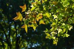 绿色槭树离开作为非常好的绿色背景 免版税图库摄影