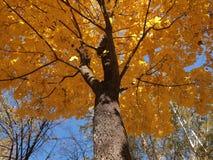 黄色槭树 库存照片