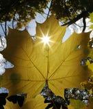 黄色槭树 库存图片