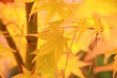 黄色槭树 免版税库存图片