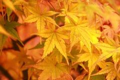 黄色槭树 免版税库存照片