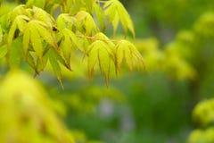 绿色槭树 免版税库存照片