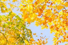 黄色樱桃树在秋天公园 免版税库存图片