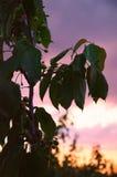 绿色樱桃 分支在日落背景 免版税库存照片