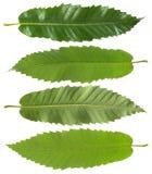 绿色樱桃leafe 免版税库存照片