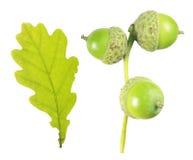 绿色橡子和在白色背景隔绝的橡木叶子 库存图片