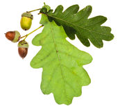 绿色橡木叶子和橡子 图库摄影