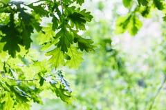 绿色橡木叶子在夏天雨天 免版税库存图片