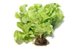 绿色橡木叶子,在白色背景的莴苣沙拉 免版税库存图片