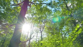 绿色橡木森林,全景 股票录像