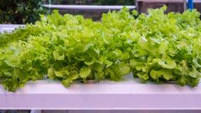绿色橡木菜水栽法 库存照片