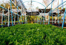 绿色橡木莴苣 库存照片