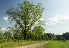 绿色橡木 免版税库存图片