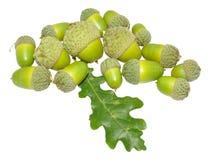 绿色橡树橡子 免版税库存照片