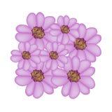 紫色欧蓍草花或Achillea Millefolium花 库存图片