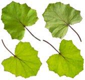 绿色款冬叶子 免版税图库摄影