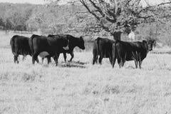 黑色母牛种田英国waltshire白色 图库摄影