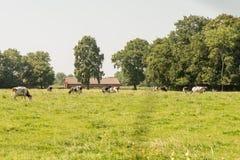 黑色母牛组牧场地白色 免版税库存图片