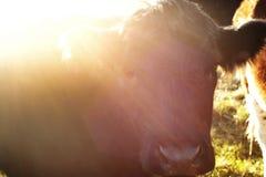 黑色母牛 库存图片