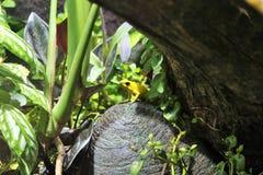 黄色毒物箭青蛙 免版税库存照片