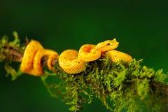 黄色毒物蛇 睫毛棕榈Pitviper, Bothriechis schlegeli,在绿色青苔分支 毒蛇在自然栖所 免版税库存照片