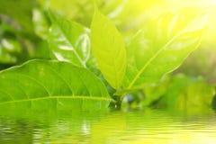 绿色毒菌在太阳光背景中 免版税图库摄影