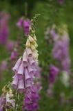 紫色毛地黄属植物在庭院,北海道里开花 免版税库存图片