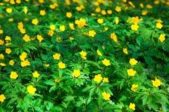 黄色毛茛花 库存图片