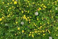 黄色毛茛草甸顶视图用蒲公英 免版税库存图片