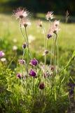紫色毛茸的花在阳光下 库存图片