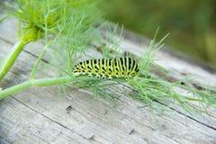 绿色毛虫爬行 免版税库存图片