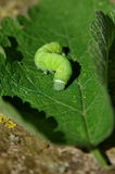 绿色毛虫 库存图片