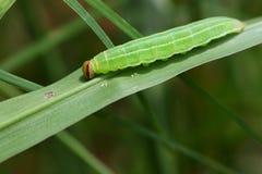 绿色毛虫 免版税图库摄影